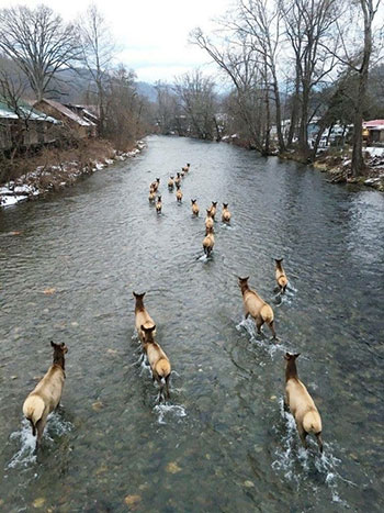 Elk walking down the Oconaluftee River in Cherokee, NC during this week's snow! -Photo by Aleisha Kirkland